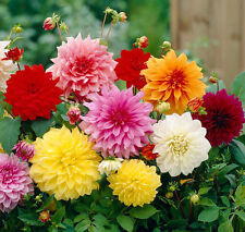 Flower Seed - DAHLIA - Dwarf Double Mixed Colour Collection - Pack of 50 seeds.