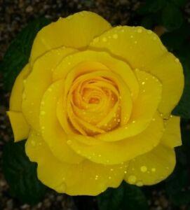 Image Is Loading Golden Wedding Floribunda Rose Bush Gift Wred 50th