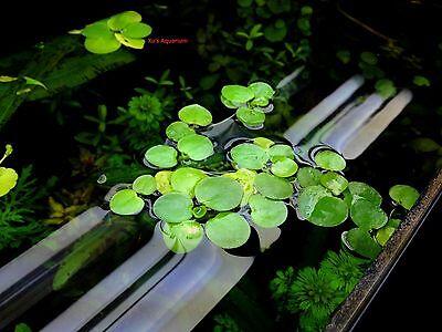 Amazon frogbit,Limnobium laevigatum,Live aquarium/Aquatic/Floating plant
