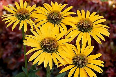 Echinacea Seeds - MAC 'n' CHEESE - Perennial- Rabbit & Deer Resistant - 15 Seeds