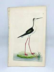 Long-legged-Plover-Bird-1783-RARE-SHAW-amp-NODDER-Hand-Colored-Copper-Engraving