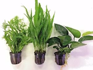 3 potted live aquarium aquatic plants java fern windelov for Plants that live long