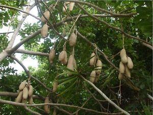 7-Semillas-Arbol-Salchicha-KIGELIA-AFRICANA-Jardin-Garden-Samen-Semi
