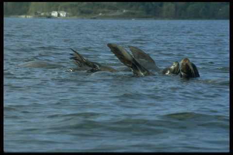 006095 Sea Lions Swimming On Backs A4 Photo Print