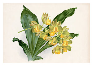 Catasetum Punctatum by Jean Linden Orchids A4 Art Print
