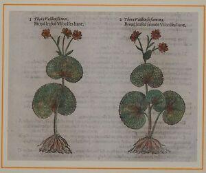 JOHN-GERARD-BOTANICA-MATTHIOLI-1597-THORA-VALDENSIS