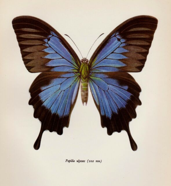 Vintage BUTTERFLY Print Butterfly Illustration Blue Mountain Swallowtail 2148