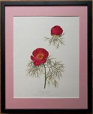 Royal Horticultural Society print -20''x16'' Framed botanical print, Paeonia