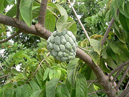 Annona squamosa Zimtapfel Pflanze 20cm Rahmapfel Süßsack Rarität leckere Früchte