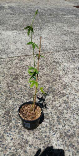 garden Vine. food Passiflora mollisima BANANA PASSIONFRUIT Plant