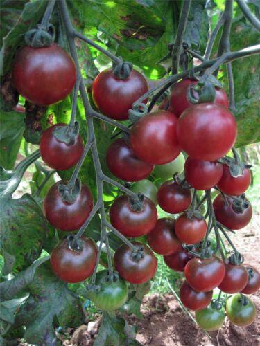 Vegetable Tomato Rosella F1-10 Seeds