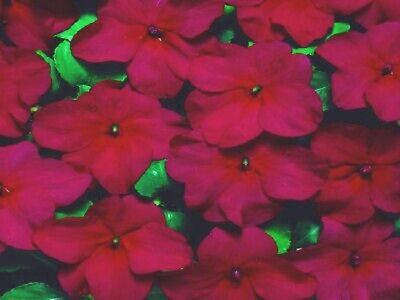 50 Impatiens Seeds Cascade Beauty Blush Seeds trailing