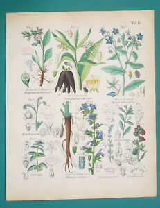 MEDICINAL-PLANTS-Lungwort-Borage-Blueweed-Comfrey-1845-H-C-COLOR-Print