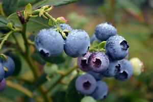 3-Pieces-Blueberries-Tree-GRAFTED-Direct-Grower-goy-rti