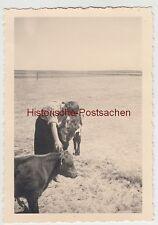 (F10612) Orig. Foto Süddorf auf Amrum, Kälber am Strand 1939