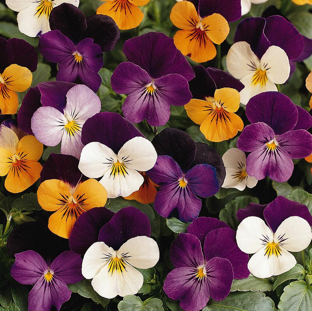 PANSY VIOLA BAMBINI MIXED 60+ Seeds flower garden CONTAINER spring autumn summer