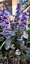 Ajuga-reptans-039-black-scallop-039-in-matured-2-3-years-Pick-up-Cardiff-only thumbnail 1