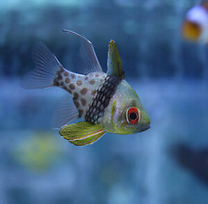Live beginner saltwater fish 1 5 aquacultured pajama for Best saltwater fish for beginners