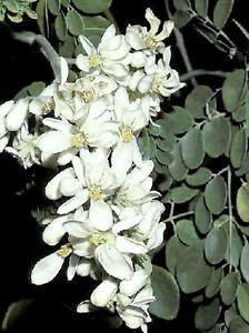 THE MIRACLE TREE (Moringa oleifera 'PKM1 Variety') 10 seeds