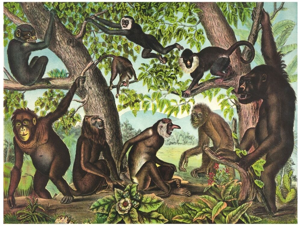 8047.Monkeys gatherosso together in forest. swinging.POSTER.art wall decor