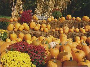 Postcard-Halloween-034-Display-of-Pumpkins-034-w-Hay-amp-Flowers-V-23