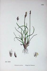Old-Antique-Print-Sedge-Like-Kobresia-Botany-Plants-C1902-Caricina-Colour-20th