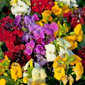 Wallflower-039-Sugar-Rush-039-Mixed-Jumbo-Plug-Plants-x-6