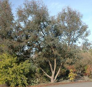 Small Leafed Gum Eucalyptus Parvula Seeds Ebay