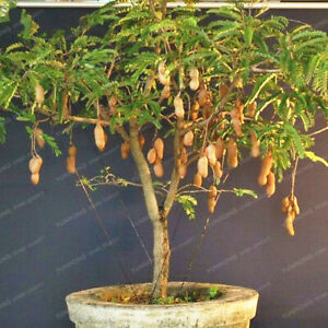 Bag-Tamarind-Bonsai-Tree-Home-Garden-Decoration-Diy-Plant-10-Particles