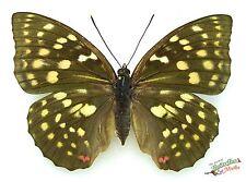 Giant purple emperor butterfly Sasakia charonda SET x1 TS A- FM entomology