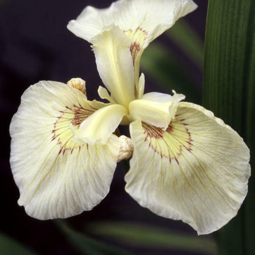 Iris 'Clotted Cream' 12 Seeds Hardy Perennial