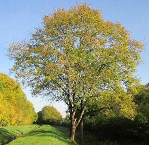 20 graines fraîches de Frêne commun Fraxinus excelsior European ash seeds