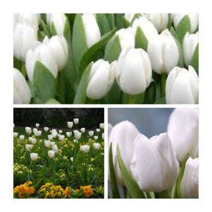 Fiori Bianchi Primavera.White Dream Tulipani X 30 Lampadine Bellissimi Fiori Bianchi