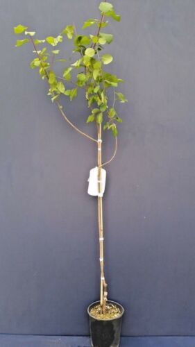 PRUNUS DOMESTICA cv RECINELLA v20 Susino europeo pianta European plum plant