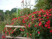 Wunderblume Purpur rot 100 Samen Mirabilis Jalapa