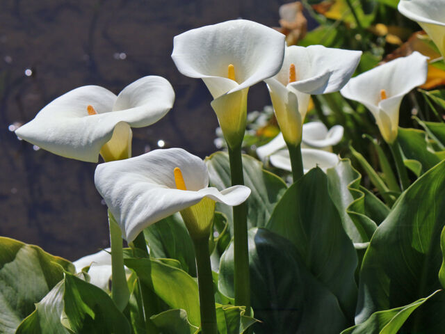100x Zantedeschia aethiopica Calla Richardia africana Arum Lily Seeds