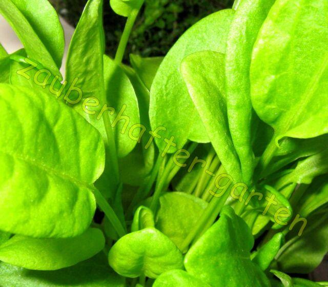 Großer Sauerampfer Rumex acetosa Salat Sauerampfersamen Saatgut 100 Korn Samen