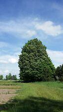 SUGAR MAPLE TREES Acer Saccharum 2-3' LOT OF  10