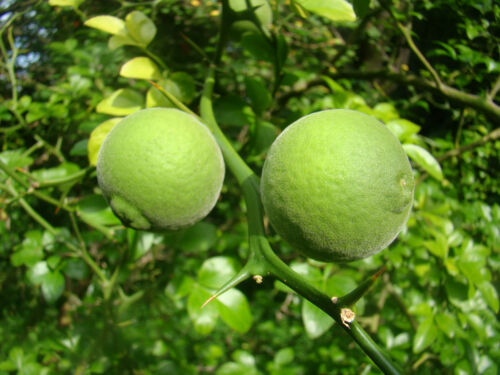 6x Hardy Lemon Fioritura Arbusto PIANTINE Poncirus Trifoliata Arancio Amaro IMPIANTO