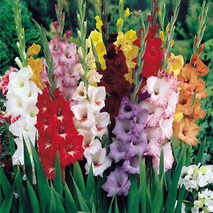10-kinds-Gladiolus-50-Seeds-Aerobic-Potted-Plants-Potted-Flower-Perennial-Garden