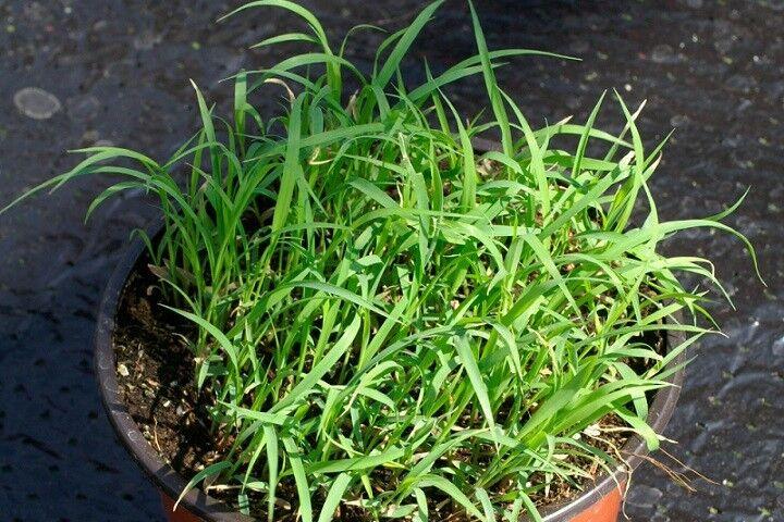 (336) 'KINGS' PREMIER QUALITY HERB lemon grass seeds
