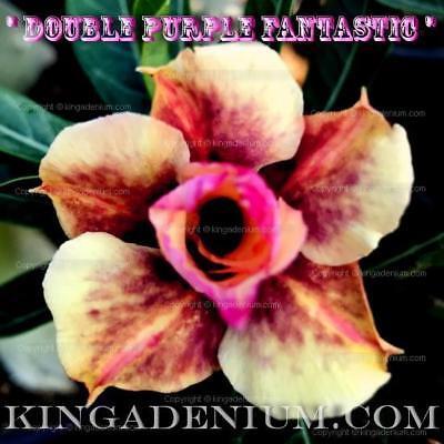 "ADENIUM OBESUM DESERT ROSE /"" DOUBLE DARK BYZANTIUM /"" 1 GRAFTED PLANT NEW HYBRID"