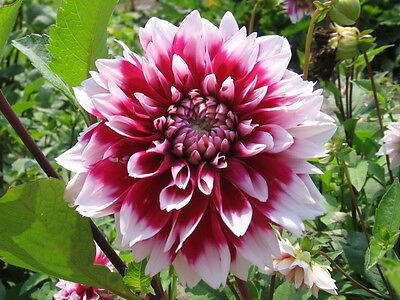 Dahlia hybrida Seed Mix Color Flower for home bonsai garden 100 seeds