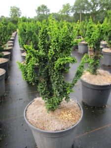 60 Meter Hecke 5 Meter Hainbuche//Carpinus betulus 100-125cm *