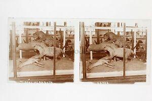 Museo Histoire Naturale Tigres Parigi Placca Stereo Vintage Positivo 6x13cm
