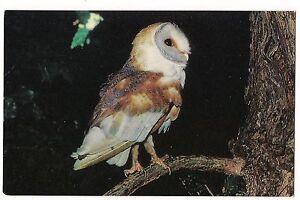 BARN OWL Barn-Owl BRITISH BIRDS Wild Bird Farm ENGLAND UK ...