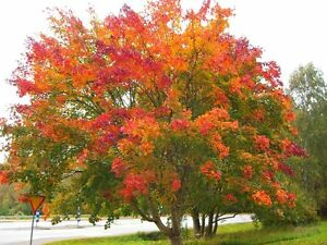 Acer Platanoides Norway Maple 10 Seeds Lovely Autumn Colour Ebay
