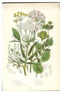 Antik-Farbe-Aufdruck-Botanische-Blumen-Lern-Wasser-Pastinake-Hasen-Ohr
