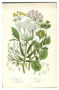 Antique-colour-print-botanical-flower-study-Water-Parsnip-Hares-Ear