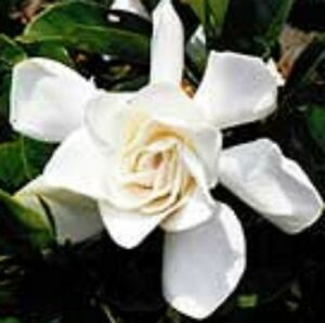 6 x professor pucci gardenia fragrant white flowers hedging plants image is loading 6 x professor pucci gardenia fragrant white flowers mightylinksfo